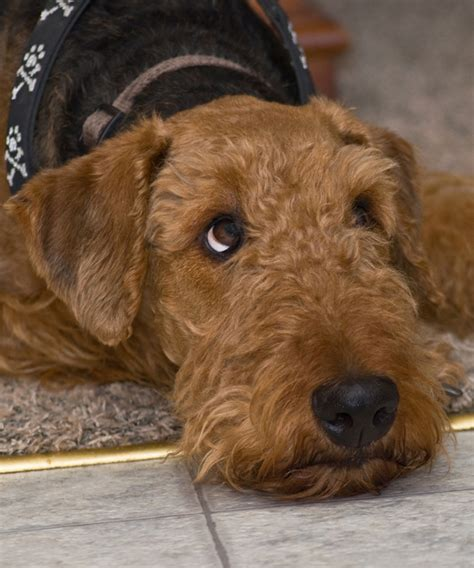 airedale dogs get to the airedale terrier king of terriers