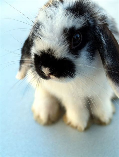 black and white rabbit wallpaper cute floppy ear bunny images