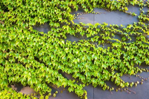 green vine wallpaper green vine plants free image peakpx