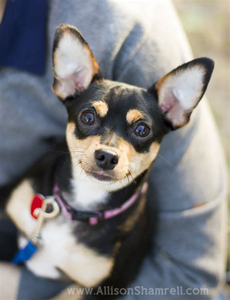 chihuahua min pin puppies miniature pinscher chihuahua mix breeds picture