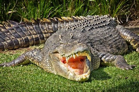 krokodil images curiosidades sobre os crocodilos animais cultura mix