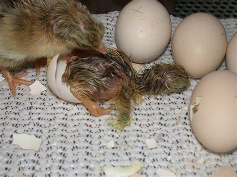 backyard chickens hatching eggs 24 best hatching eggs raising chicks images on pinterest