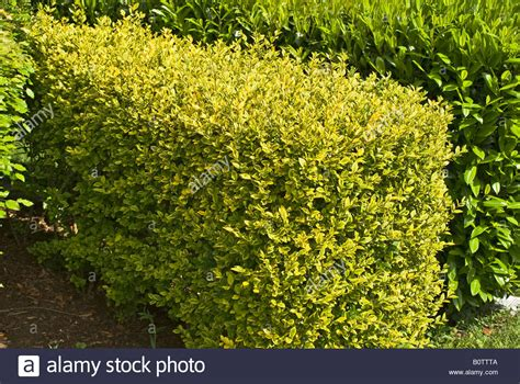 spring growth on a golden privet hedge in may stock photo royalty free image 17756714 alamy