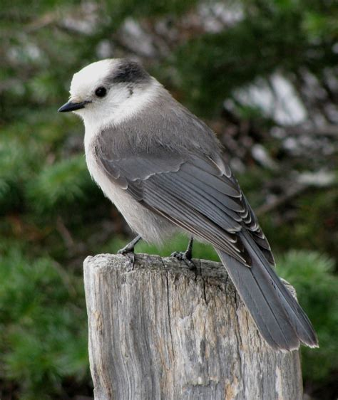 grey jay bird in lake louise ab canada 1000 amazing