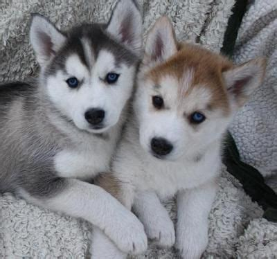 husky puppies for sale in orlando best 25 baby huskies for sale ideas on pictures of baby dogs husky