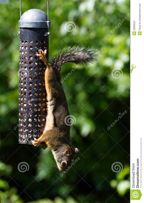 squirrel and bird feeder royalty free stock photography