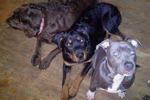 pitbull pug mix for sale chow chow pitbull mix breeds picture