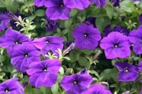 Purple Flower Identification Guide Ehow Purple Garden Flowers Identification