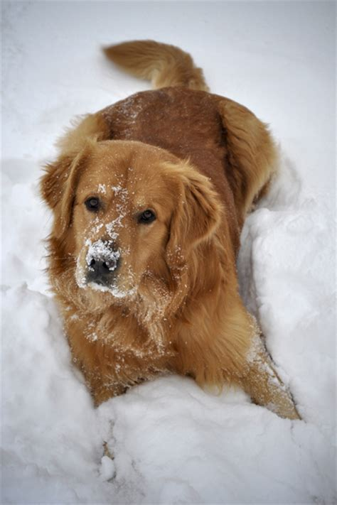 snow golden retrievers golden retriever in the snow by 2dogs photo weather underground