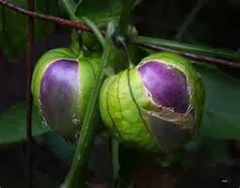 Buah Ciplukan Kering Ciplukan Physalis Angulata L Bibit Benih berkebun yuk benih tanaman tomatillo ungu atau ciplukan