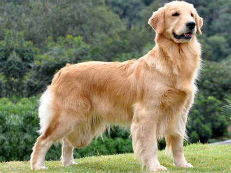 canil golden retriever canil forts golden retrievers