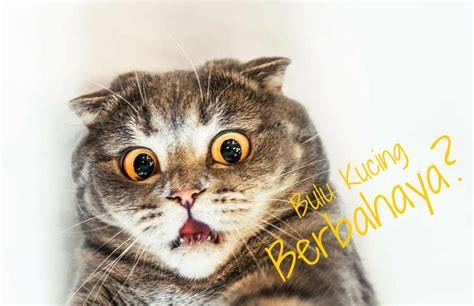 kucing growssy cat kitten bahaya bulu kucing bagi manusia menurut dokter terpercaya
