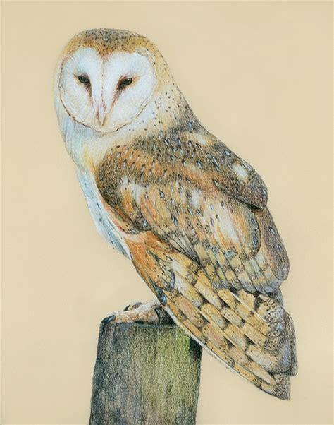 Barn Owl Coloured Pencil Drawing By Katrina Ann Uk Barn Owl Drawing