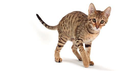 savannah house cat savannah cat breed information