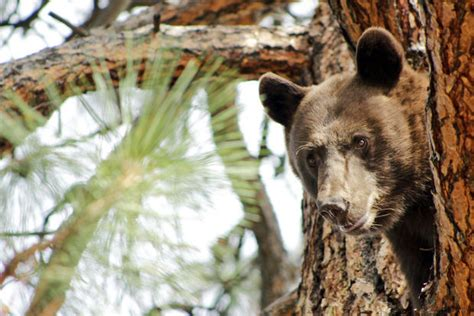 2 bears euthanized in area where montana woman was