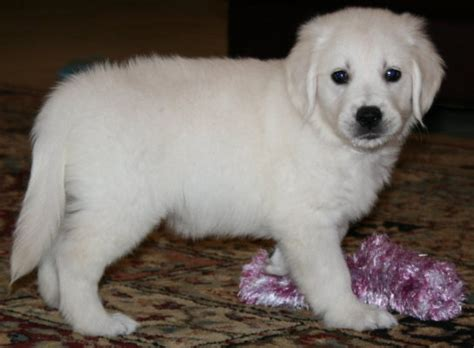 white golden retriever puppies for sale puppies for sale white golden retriever dogs puppies breeders florida