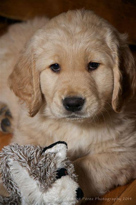 the best golden retriever breeders 1171 best golden retriever pups breeders images on