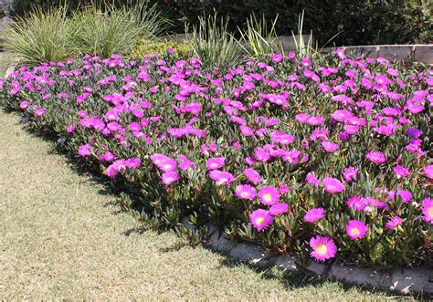 tough ground cover plants