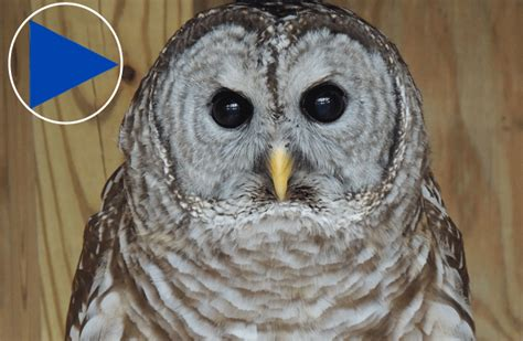 barred owl at the virginia wildlife centre