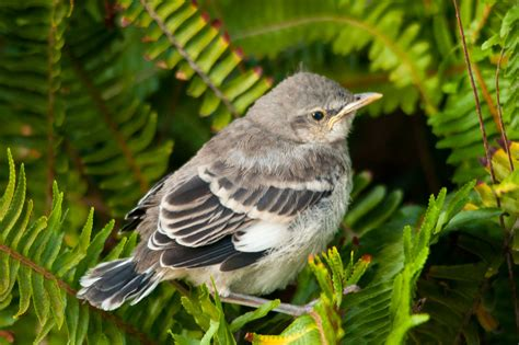 baby mockingbird jpg photo lloyd prudhomme photos at