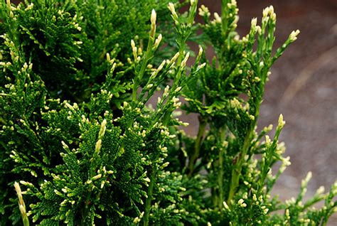 Plants With Red Foliage - can can western red cedar oregon state univ landscape plants