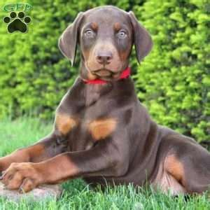 doberman puppies for sale in md doberman pinscher puppies for sale