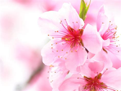 Sakura Flowers Japanese Cherry Blossoms Flowers Japanese Cherry Blossom Flower