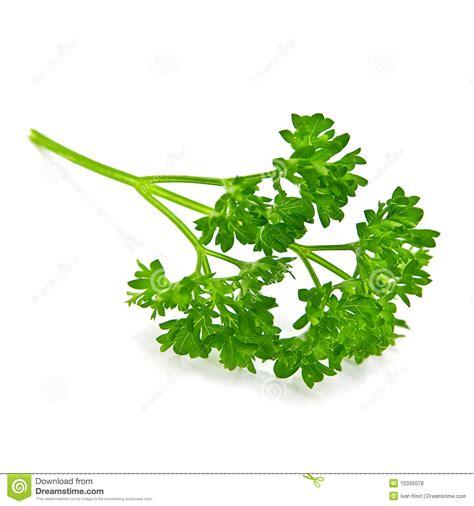 free clip stock photos parsley stock photo image of leaf garnish