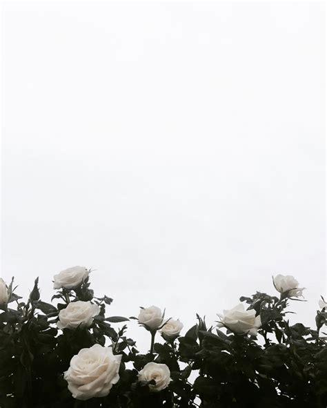 Mawar Floribunda Putih Mini White Roses Tanaman Bunga Mudah Tumbuh candiceocheung florals flowers flora and plants