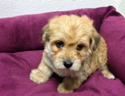 yorkie poo for sale in michigan 17 best ideas about yorkie poo for sale on yorkie puppies yorkie poo