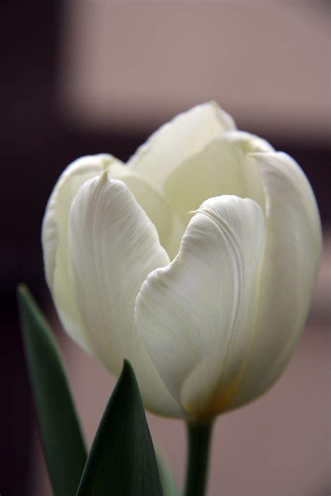 wallpaper bunga tulip kuning wallpaper desktop bunga terlengkap a1 wallpaperz for you