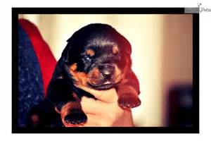 rottweiler puppies columbia mo rottweiler puppy for sale near columbia jeff city missouri 8614daf2 1051