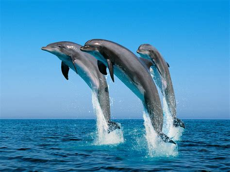 dolfijnen achtergronden hd wallpapers