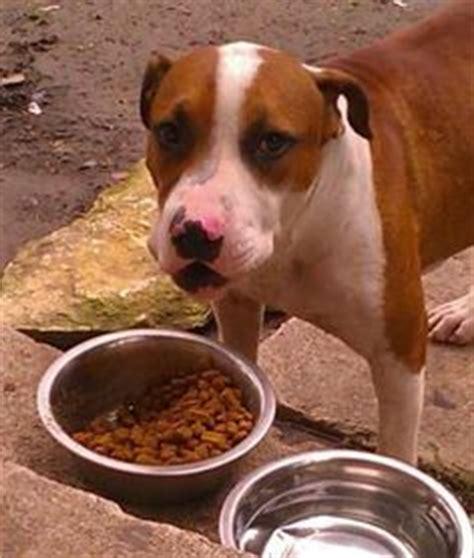 craigslist dallas puppies dallas pets classifieds craigslist