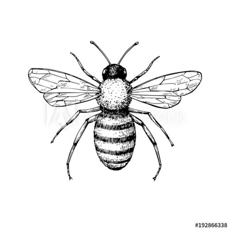 honey bee vintage vector drawing hand drawn isolated