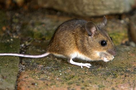house rat house mouse common everywhere gainsborough wildlife lincolnshire