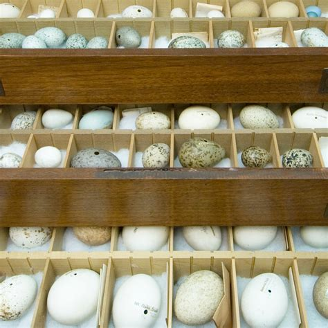 Egg Collection Bird Egg Collection The New York State Museum