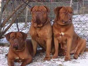 Dog Door Bordeaux Dog Rasbeschrijving Puppies Doggy Net