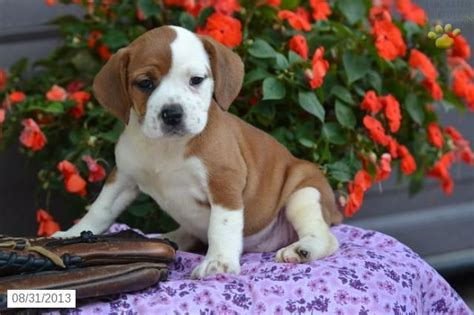 beabull puppies for sale beabull puppy for sale