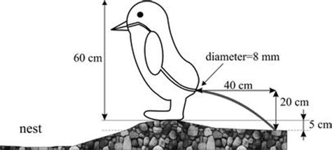 adelie penguin diagram bird digestion