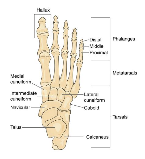 diagram of diagrams of the foot printable diagram site