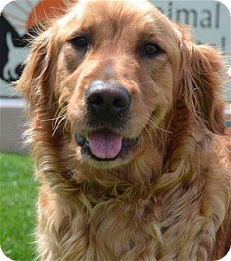 golden retriever puppies in ri adopted foster ri golden retriever
