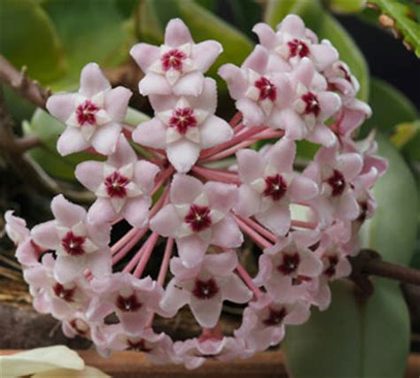 hoya new year hoya plant care tips on care and maintenance