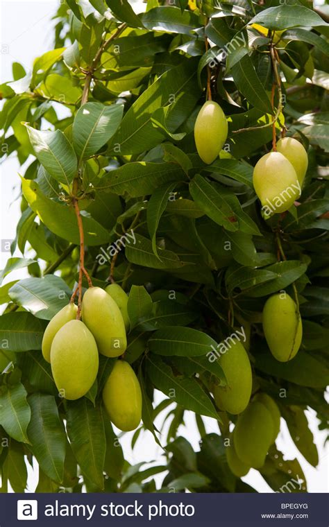 Pengharum Mobil Trees Mango green mango fruits hanging from a mango tree kandal province stock photo royalty free image