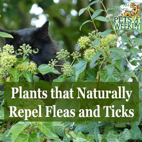 there are many plants that naturally repel insects and are safe for pets do you have them in