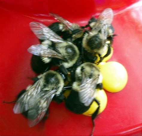 bumble bees at the hummingbird feeder flickr photo