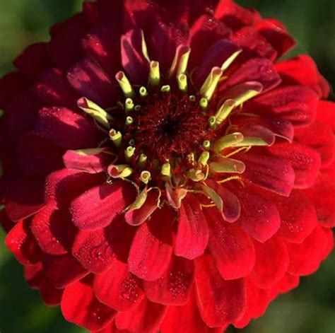 10 Benih Biji Bunga Zinnia Carpet benih zinnia dahlia scarlet 20 biji non retail