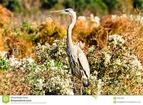 great blue heron stock photo image 40267656