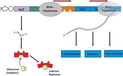 induktor biologie lerninhalte substratinduktion