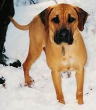 black cur blackmouth cur breed information history health pictures and more